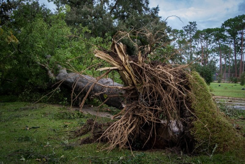Tree fallen after hurricane